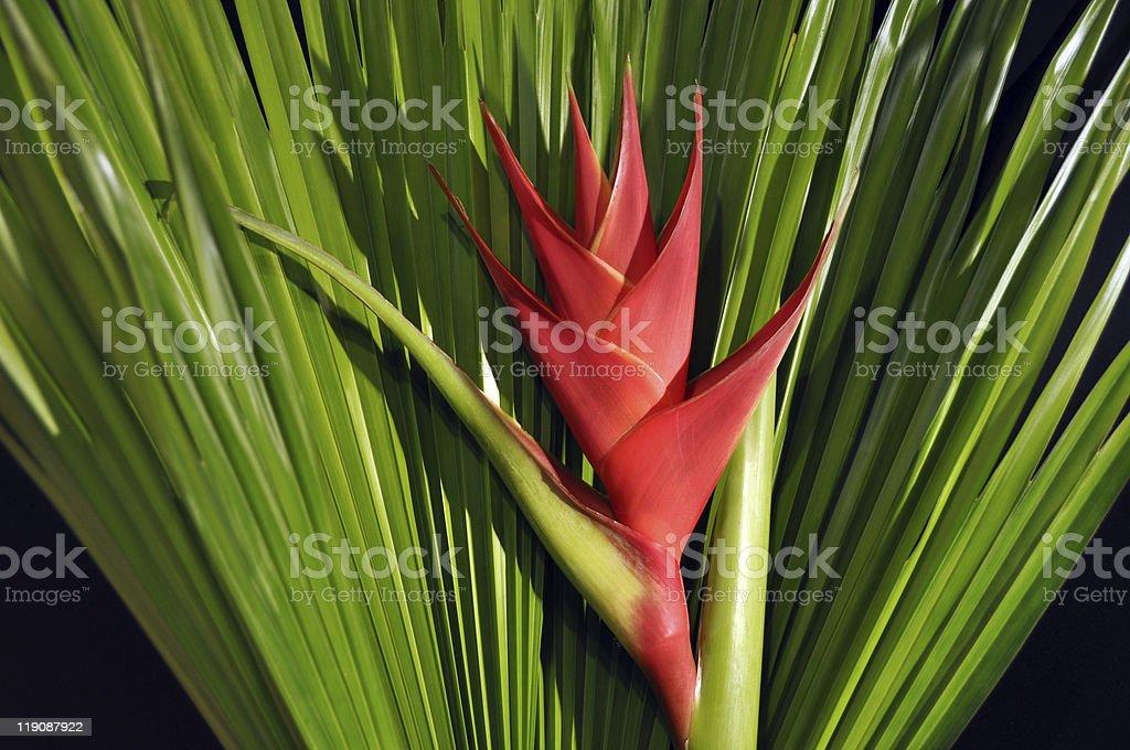 Heliconia Caribea stock photo