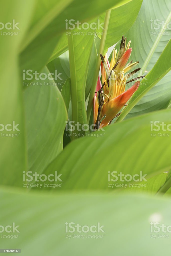 heliconia flower royalty-free stock photo