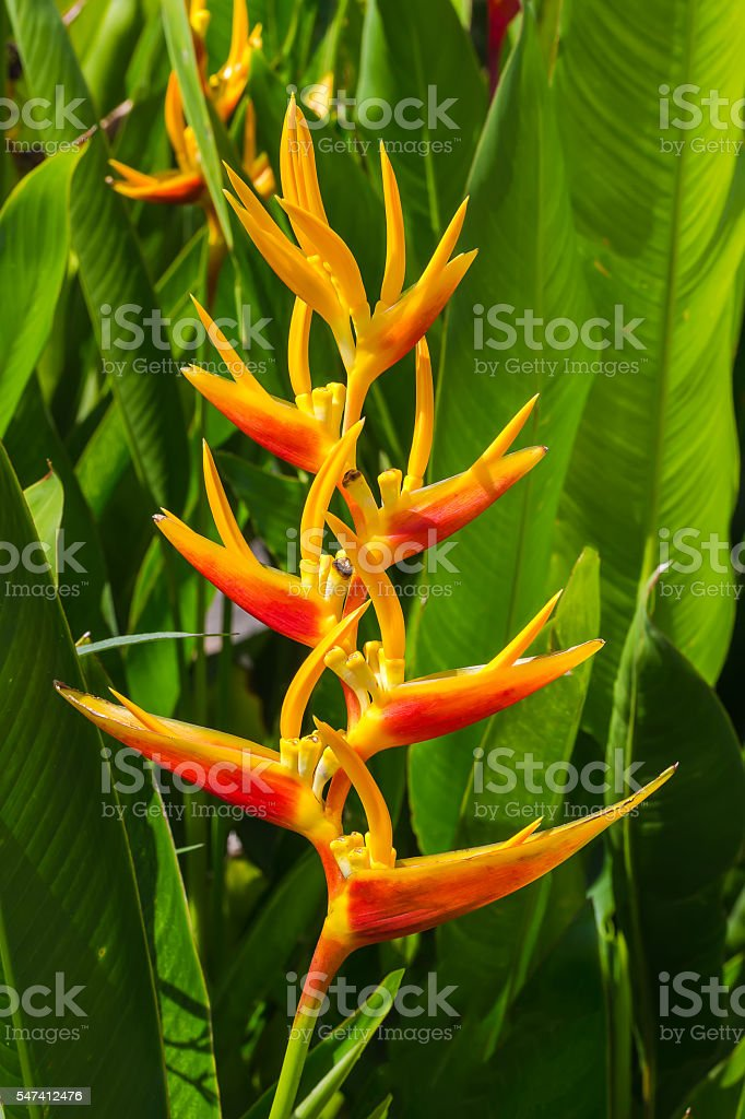 Heliconia, Lobster-claws stock photo