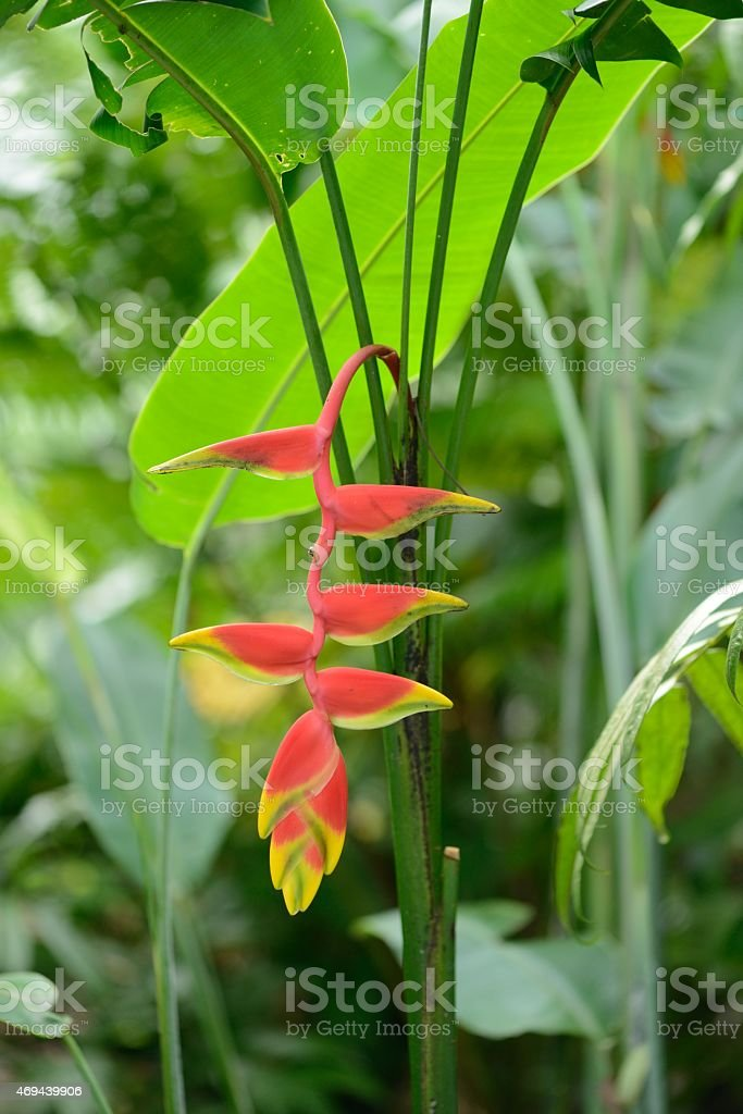 Heliconia Pendula - Hanging Crab Claw Flower stock photo