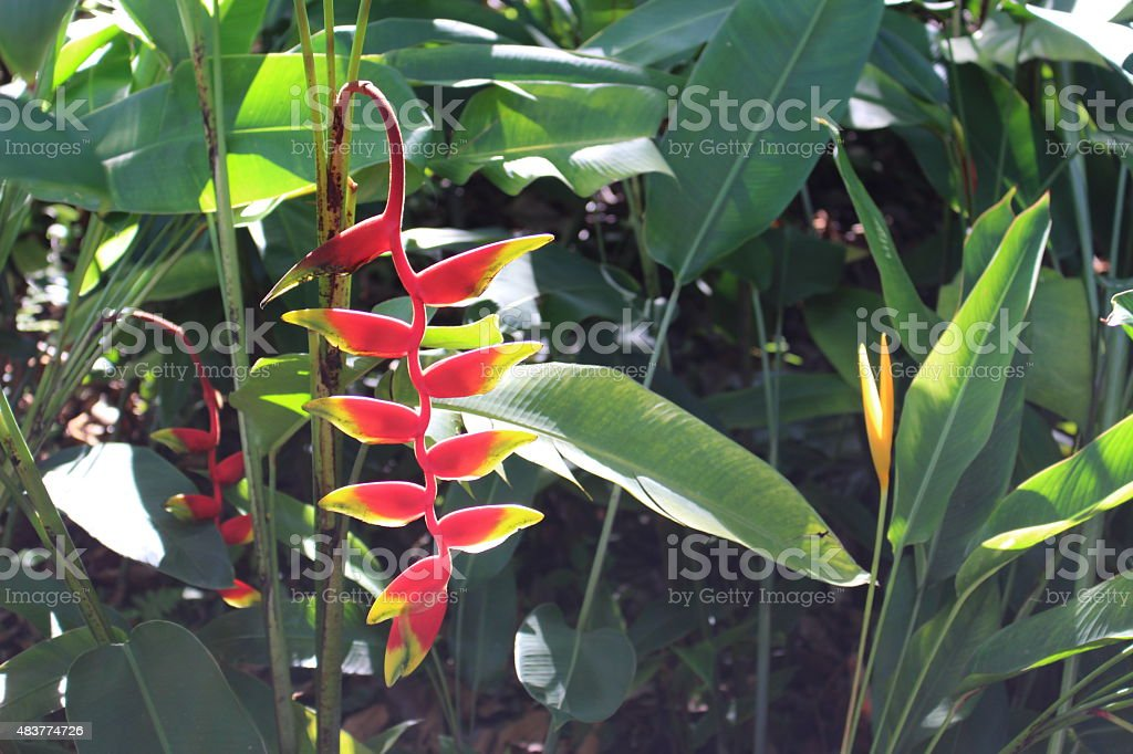 Heliconia Plant stock photo