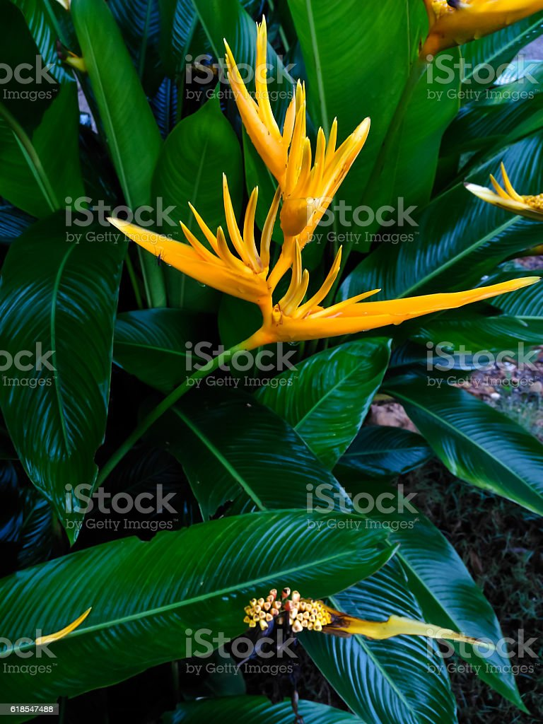 Heliconiaceae stock photo