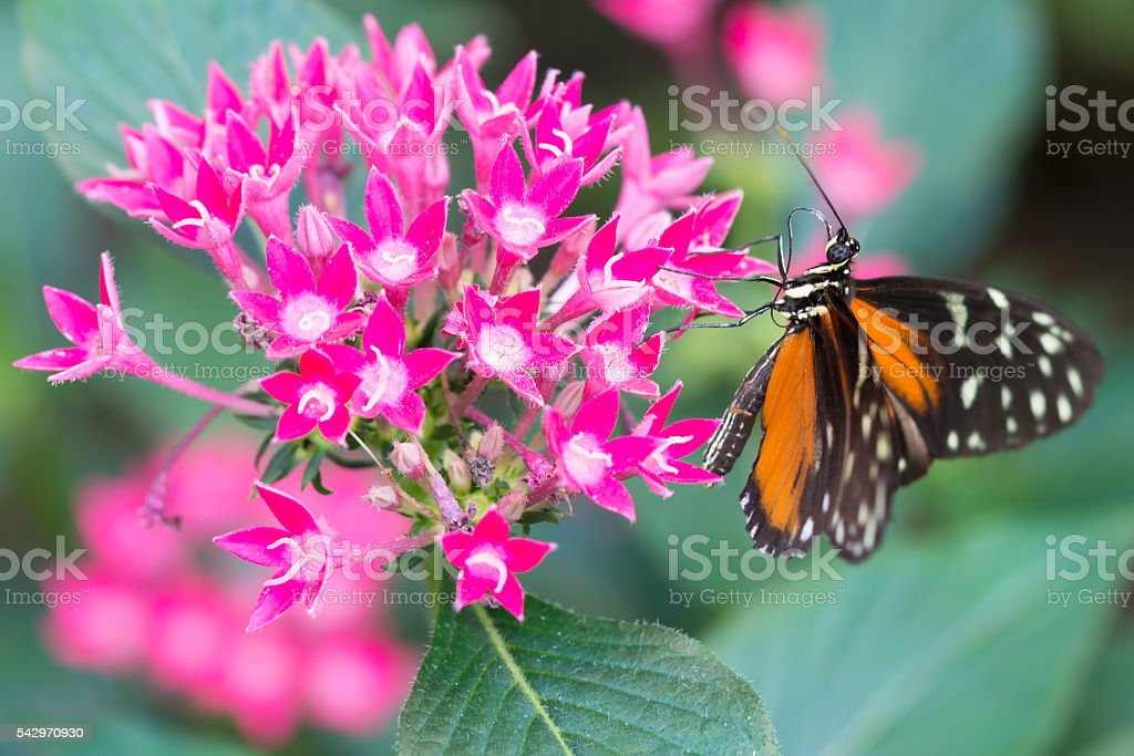 Heliconian butterfly on a flower stock photo