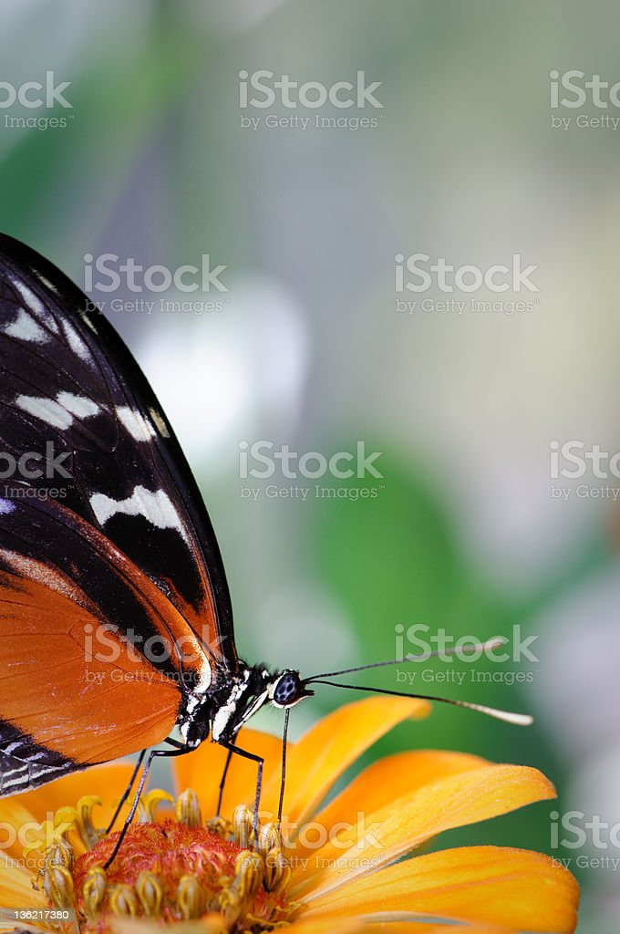 Heliconius butterfly on an orange zinnia royalty-free stock photo