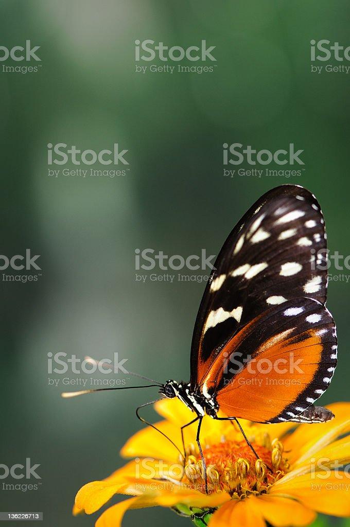 Heliconius butterfly on an orange zinnia. stock photo