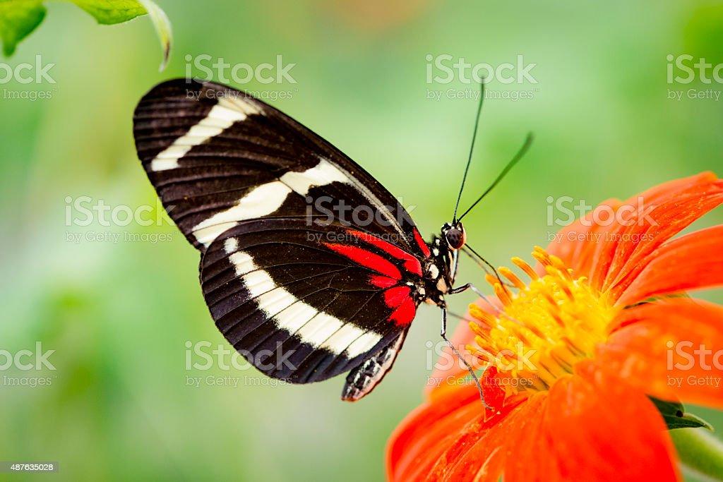 XXXL: Heliconius butterfly on an orange zinnia stock photo