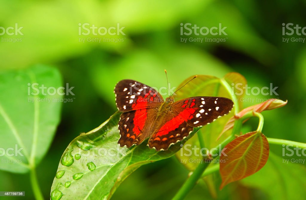 Heliconius butterfly resting on a leaf. stock photo