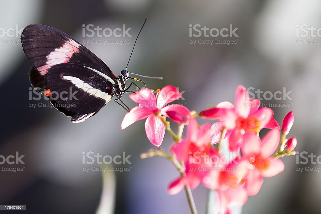 Heliconius Doris butterfly on plant stock photo