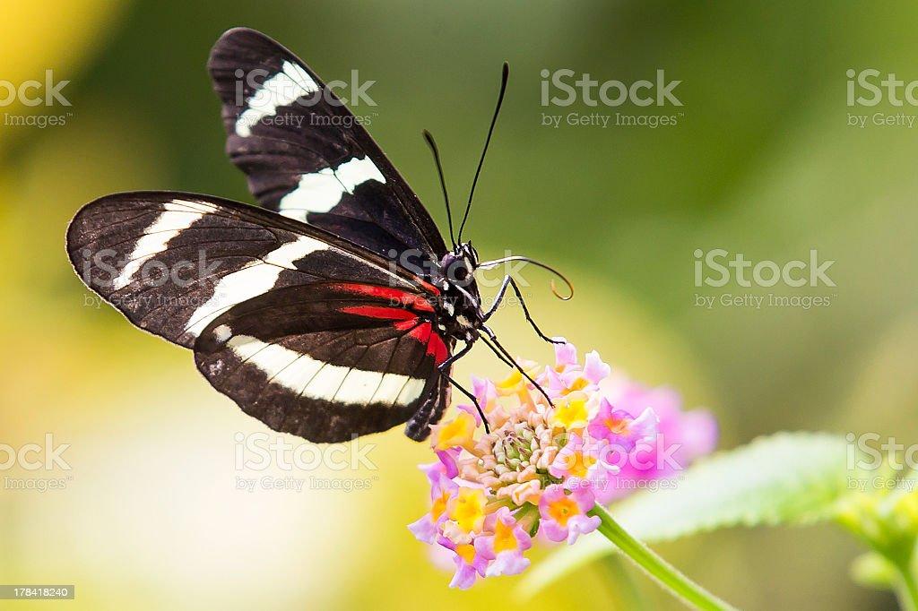 Heliconius Doris butterfly on plant stock photo