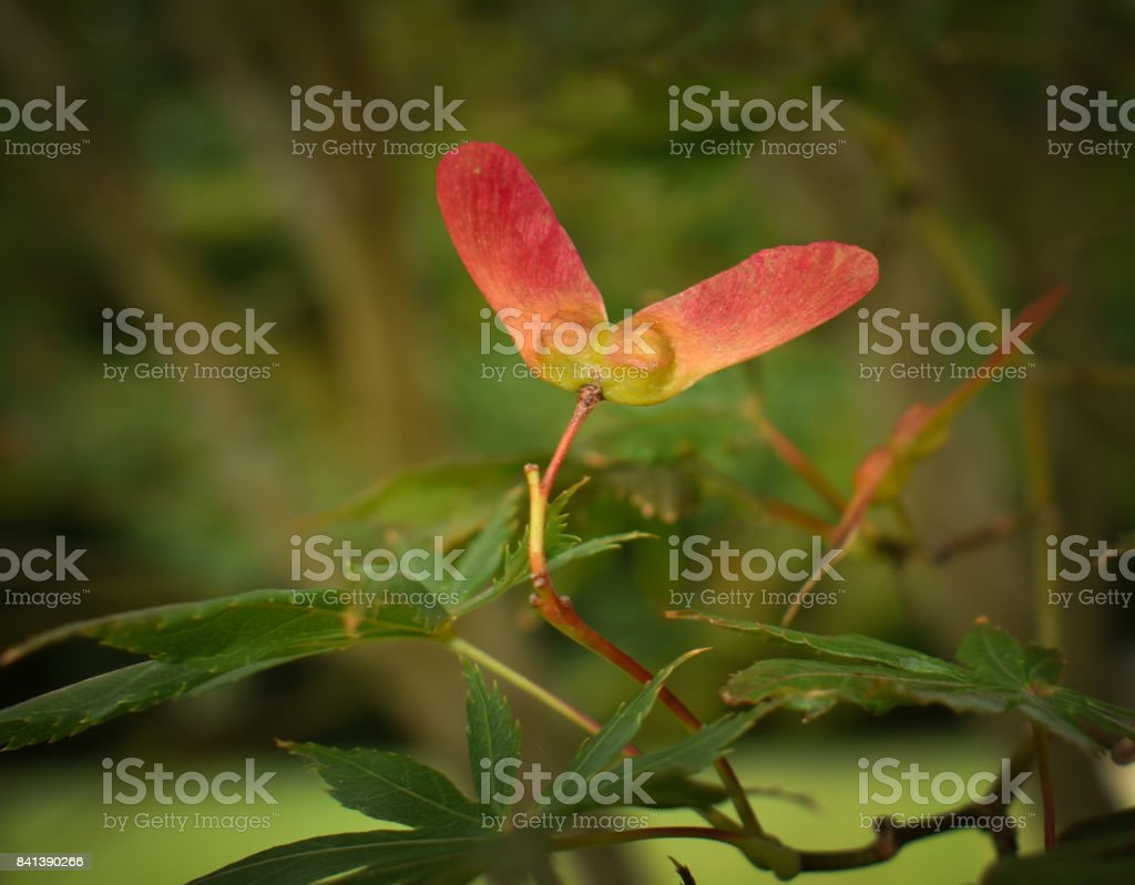 Helicopter Seed stock photo