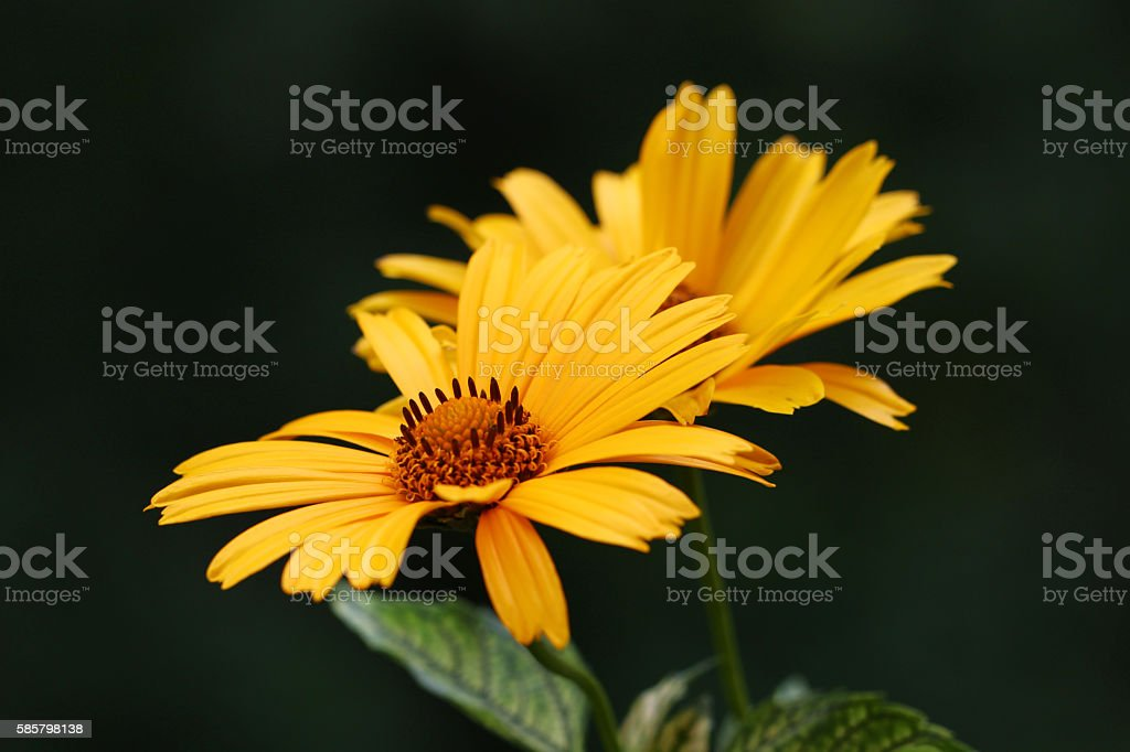 Heliopsis helianthoides flower stock photo