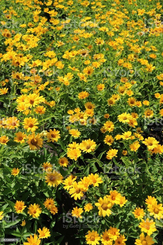 Heliopsis helianthoides var. scabra 'Light of Loddon' bright yellow flowers on a meadow stock photo