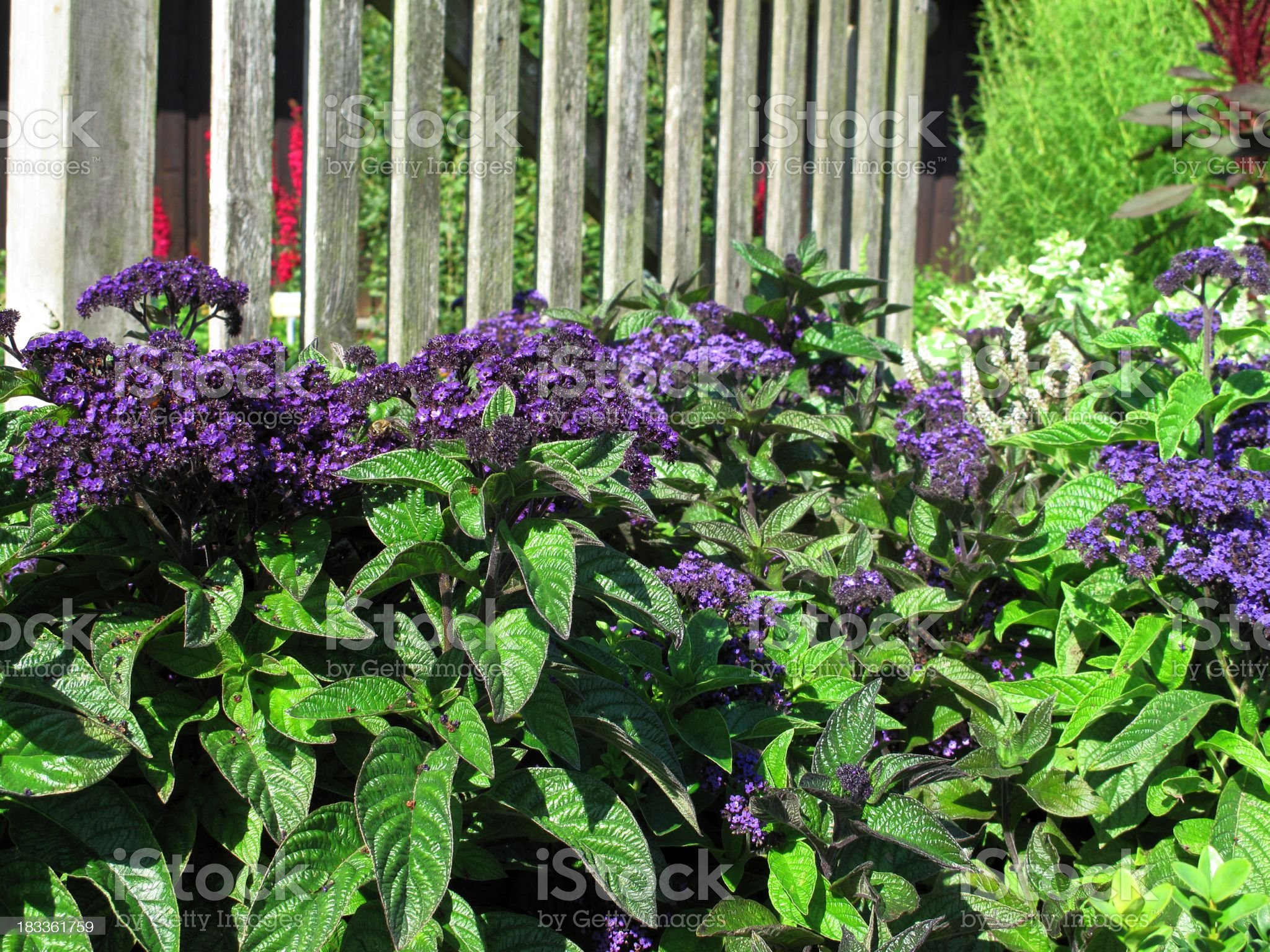 Heliotropium arborescens in herb garden royalty-free stock photo