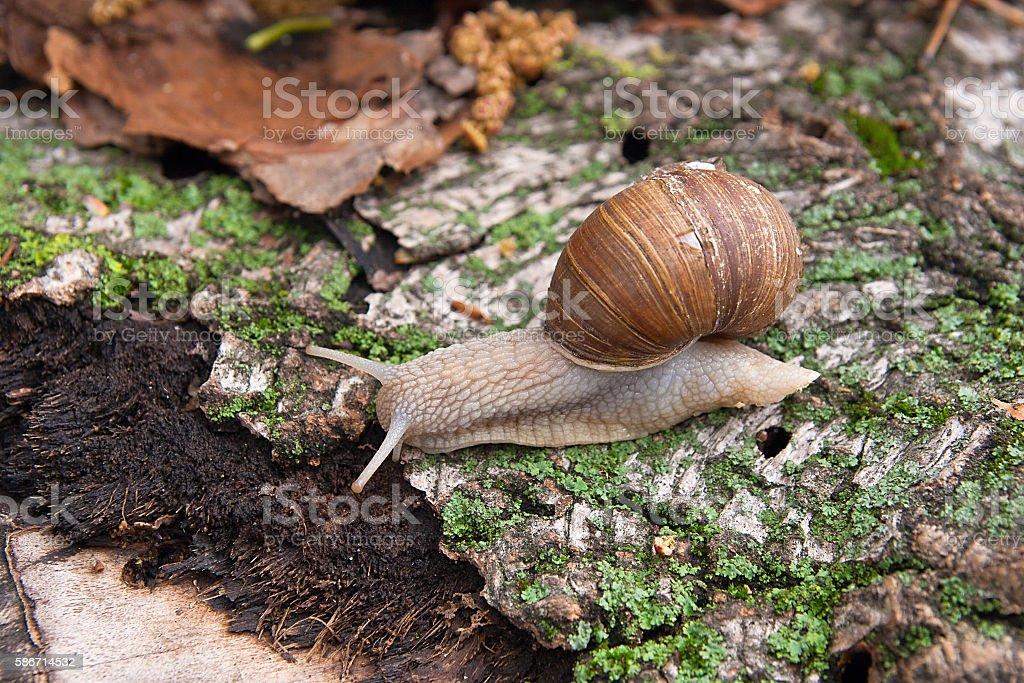 Helix pomatia, common names the Burgundy snail, Roman snail stock photo