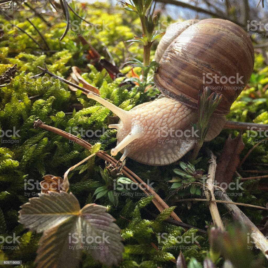 Helix pomatia looking for a way stock photo