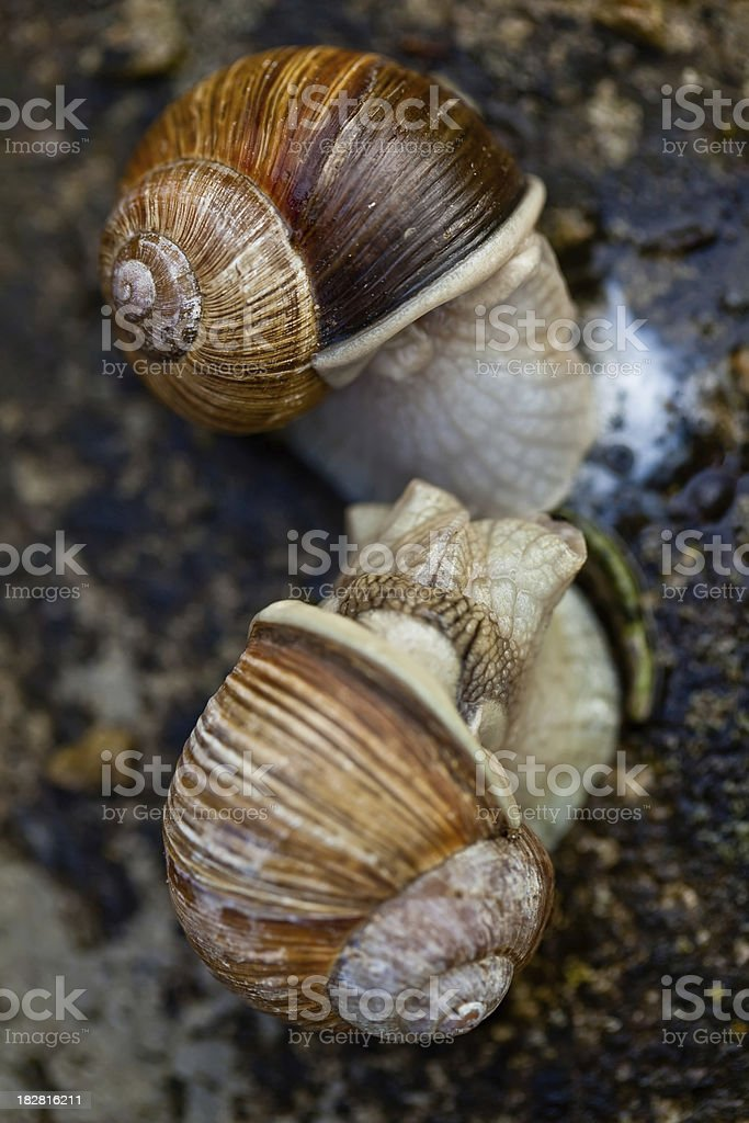 Helix pomatia snail copulating stock photo