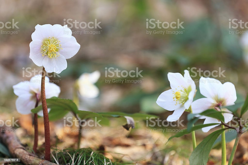 Hellebore Flowers royalty-free stock photo