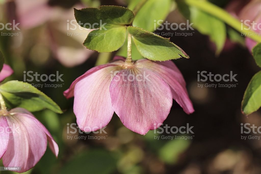 Hellebore orientalis royalty-free stock photo