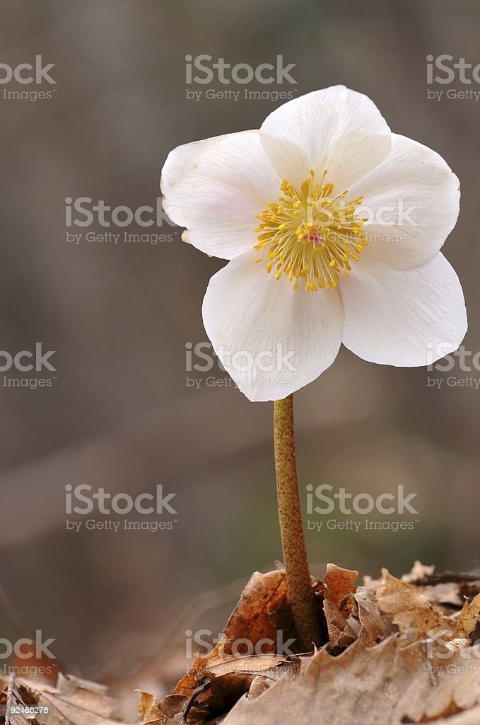 Hellebore (Helleborus niger) stock photo