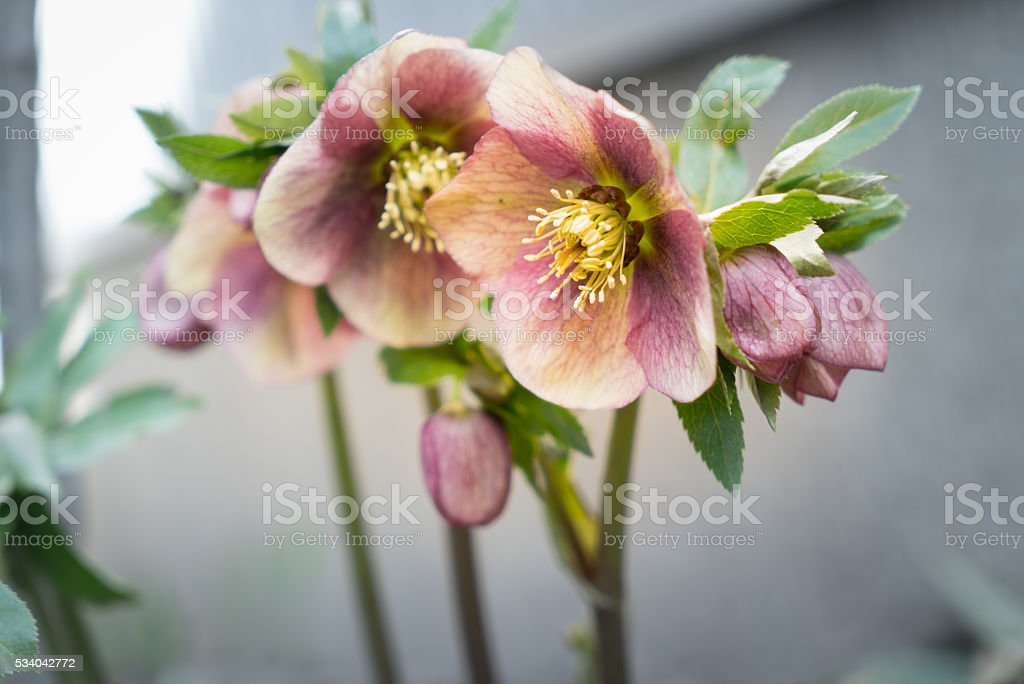 Hellebores,Christmas rose stock photo