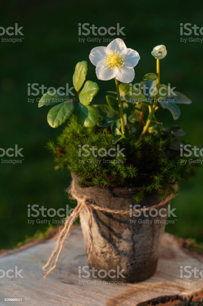 Helleborus flower in a pot stock photo