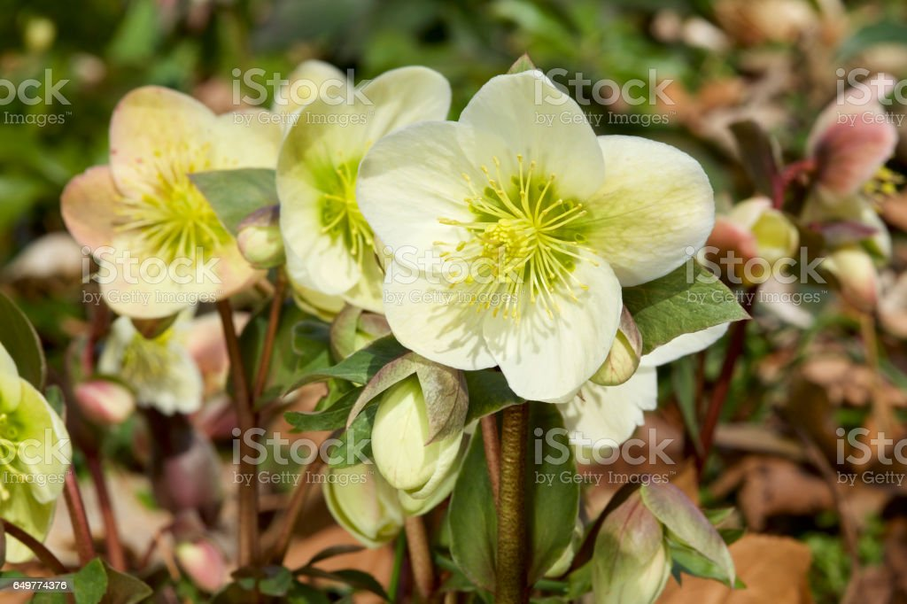 Helleborus flowers in early spring stock photo