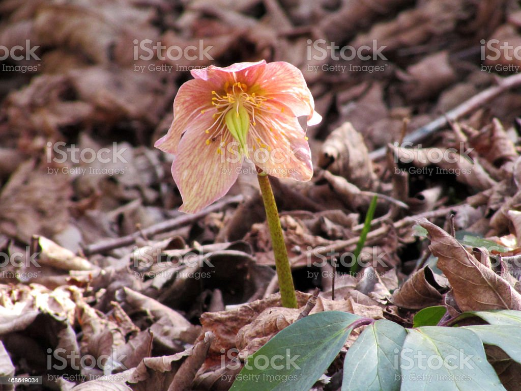 Helleborus niger blossom stock photo
