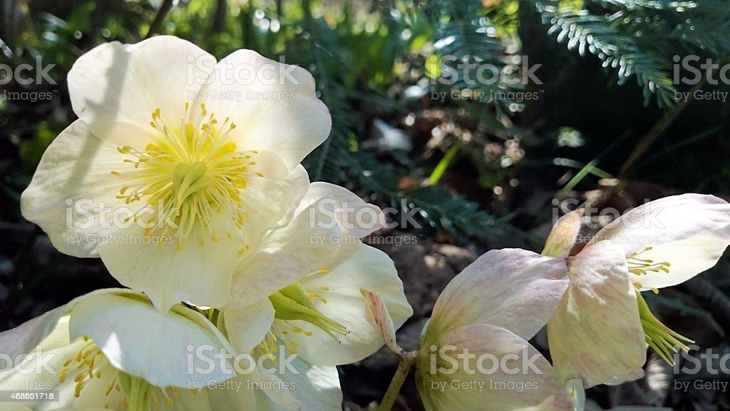 Helleborus niger blossom stock photo