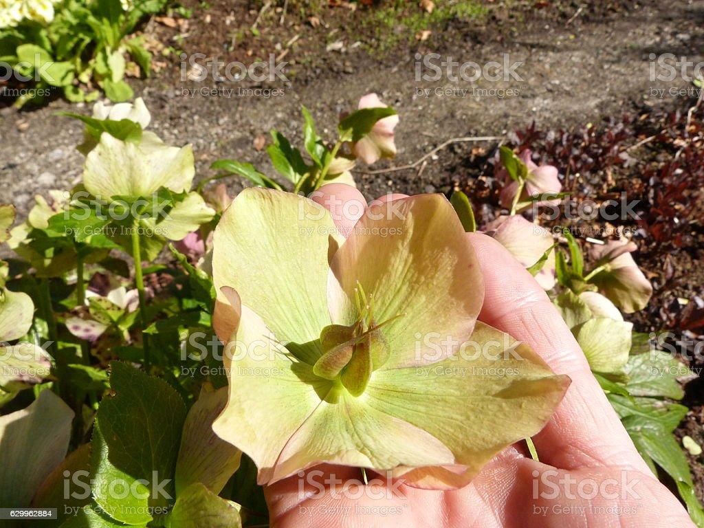Helleborus niger bract in the gardener's hand stock photo