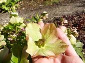 Helleborus niger bract in the gardener's hand