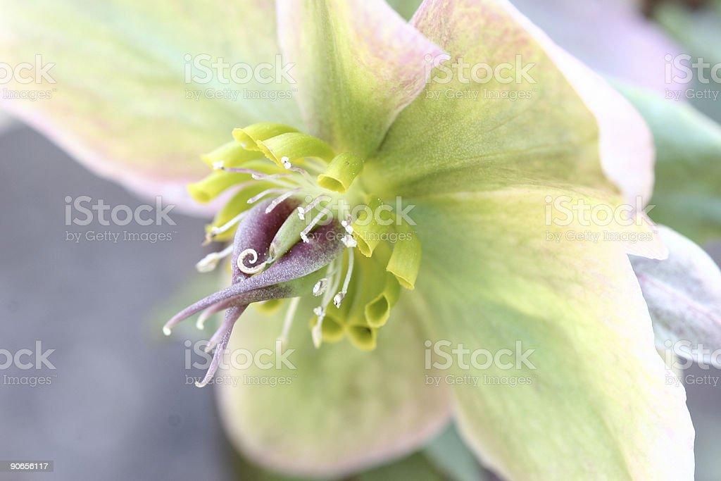 Helleborus niger  christmas rose stock photo