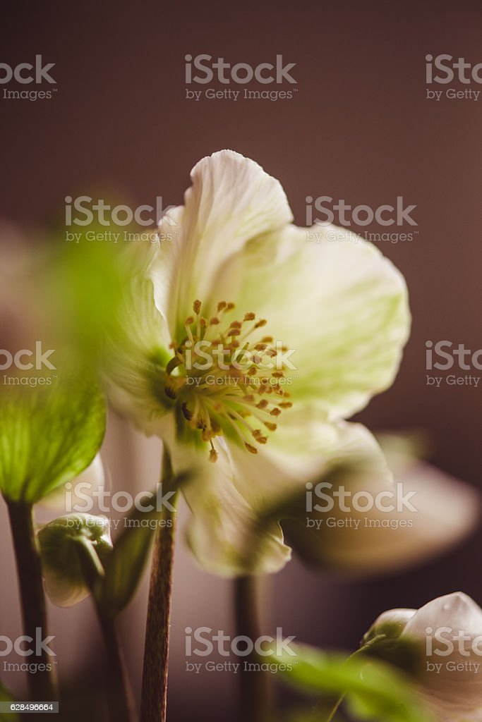 Helleborus niger, commonly called Christmas rose stock photo