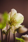 Helleborus niger, commonly called Christmas rose