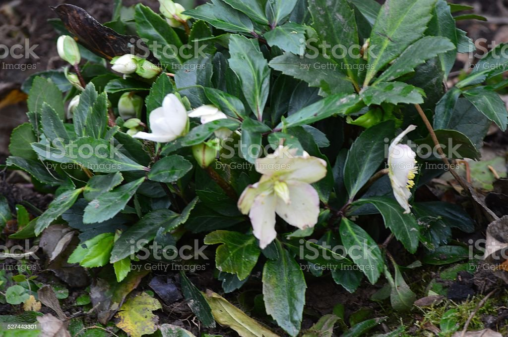 Helleborus niger stock photo