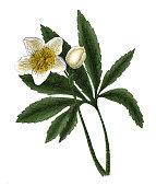 Helleborus niger (antique botanical engraving)