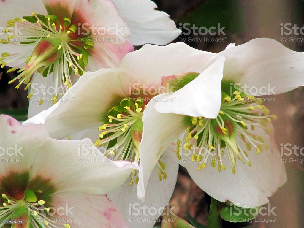 Helleborus niger white pink blossom stock photo