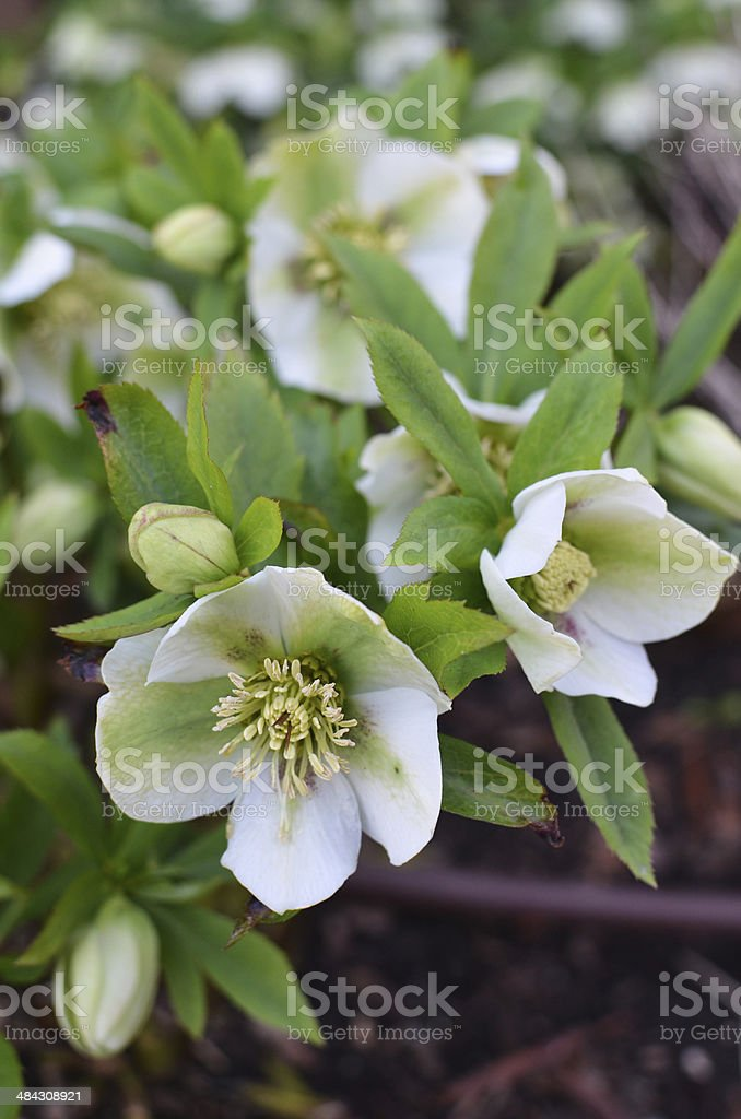 helleborus royalty-free stock photo