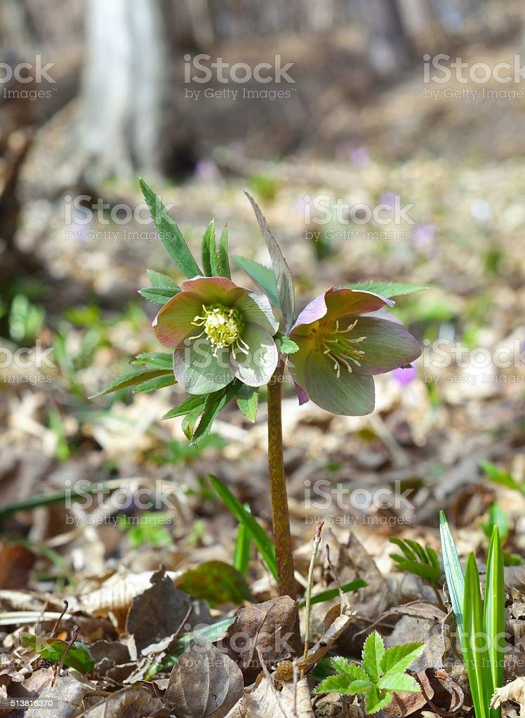 Helleborus (Helleborus odorus) stock photo