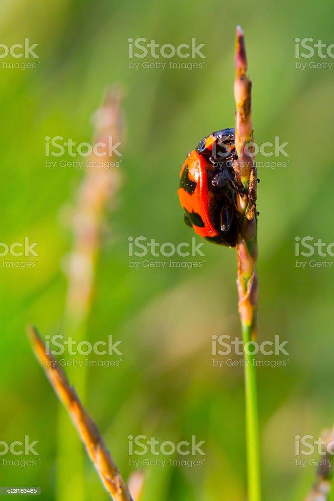 Hello Ladybug royalty-free stock photo