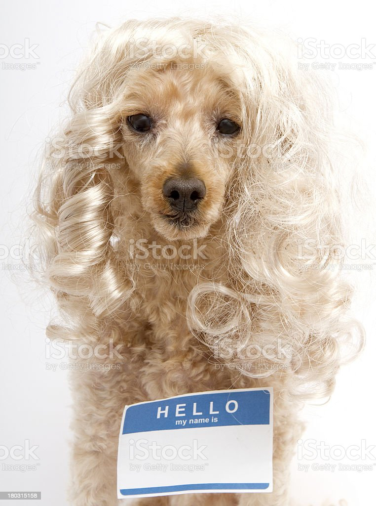 Hello My Name Is...Sticker On Blonde Dog royalty-free stock photo