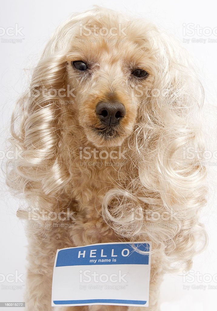 Hello My Name Is...Sticker On Dog with Blonde Hair royalty-free stock photo