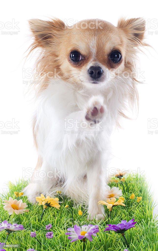hello of chihuahua stock photo