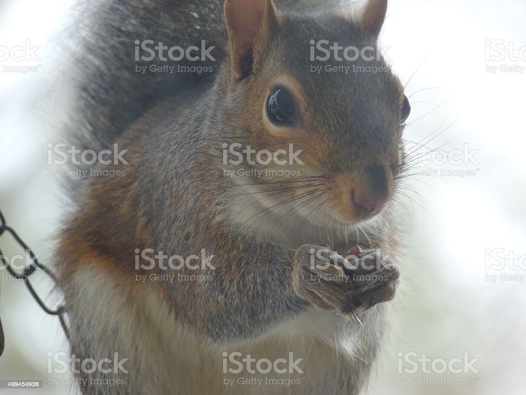 Hello, Varmint!2 Delightfully Cheerful Face of a Fluffy Gray Squirrel stock photo