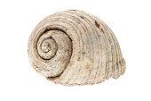 Helmet sea shell  Tonna Galea or Tun Shell. Empty house