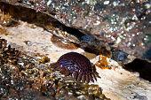 Helmet sea urchin on a rock