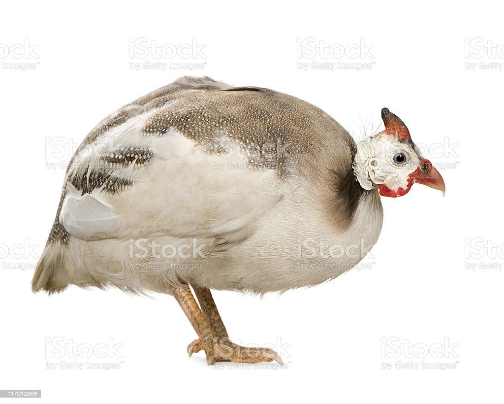 Helmeted guinea fowl - Numida meleagris royalty-free stock photo