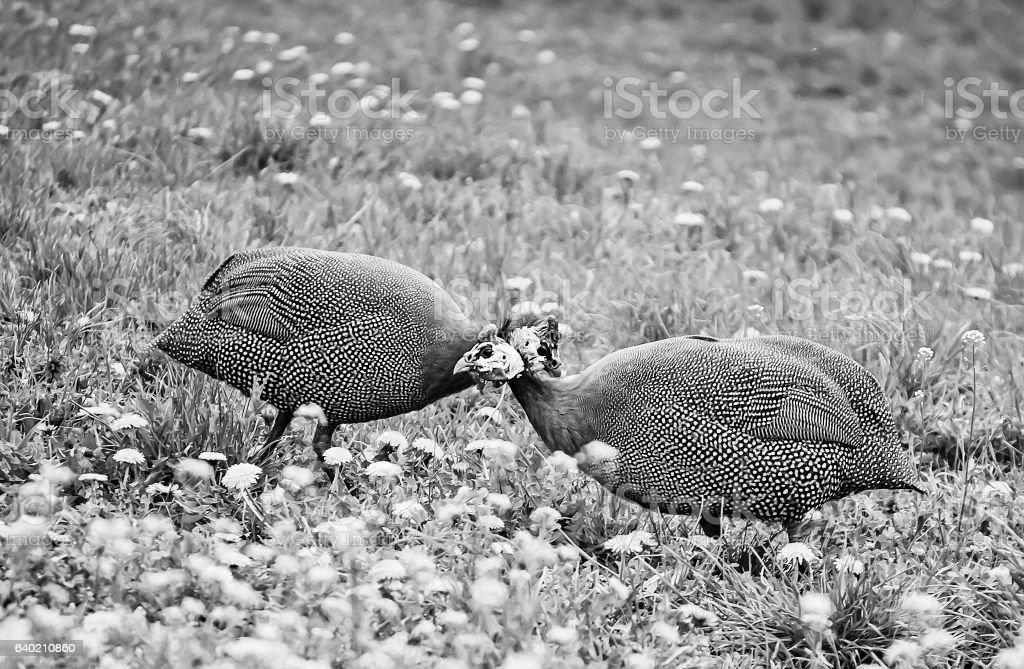 Helmeted guinea fowls 4 stock photo