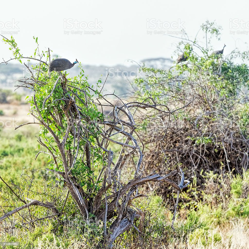 Helmeted Guineafowl on tree stock photo
