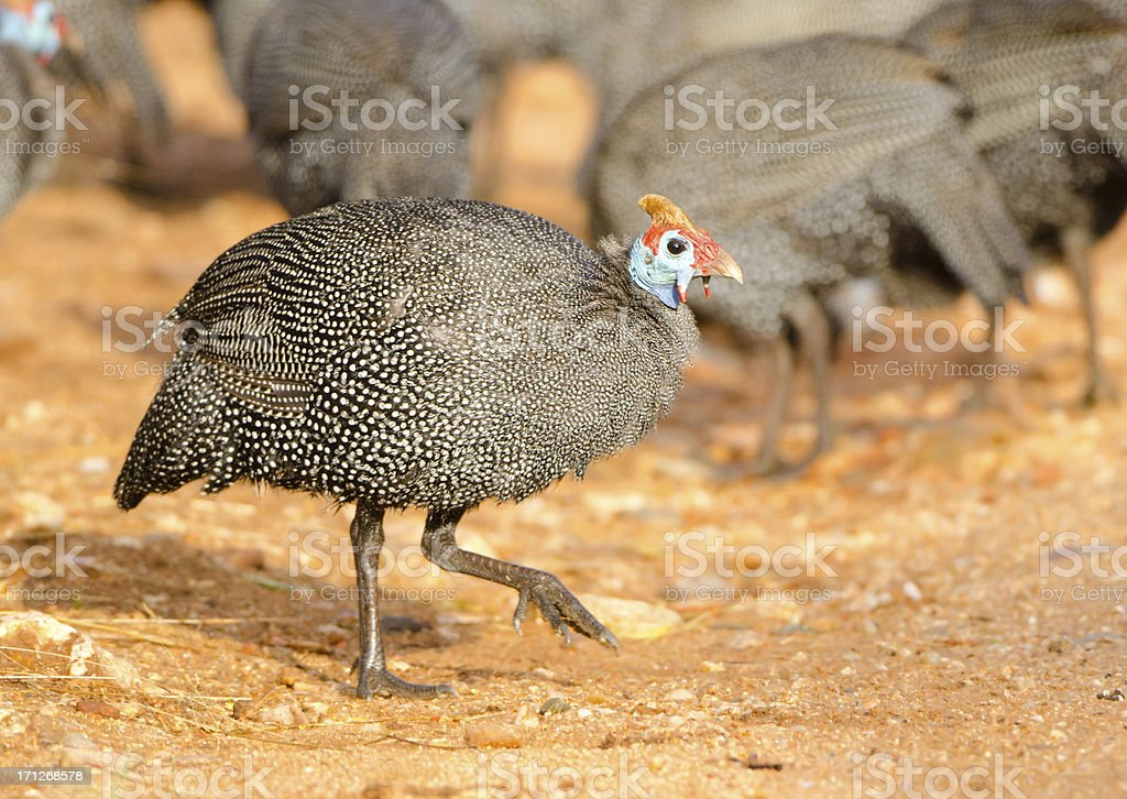 Helmeted Guineafowl - South Africa stock photo