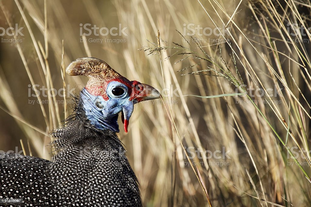 Helmeted Guineafowll in Kruger Park, South Africa stock photo